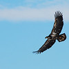 Immature Bald Eagle.  One or two years old perhaps.