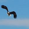 One-legged Bald Eagle