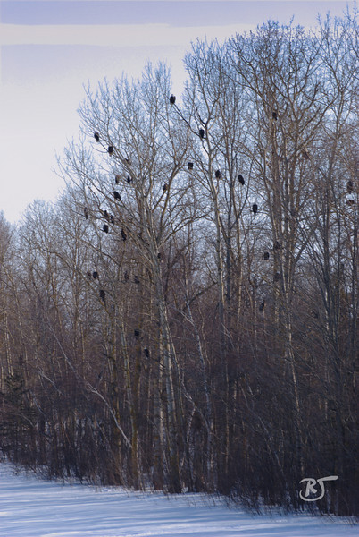 Eagles Roosting in Elm trees. (about 35)