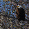 Bald Eagle <br /> <br /> For best results, view image in large format. <br /> <br /> Sheffield Mills, Nova Scotia. 07 February 2009.