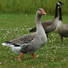 Greylag Goose (Domestic)