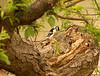 Woodpecker 2.<br /> <br /> Grand Pre, Nova Scotia.<br /> May 2007.