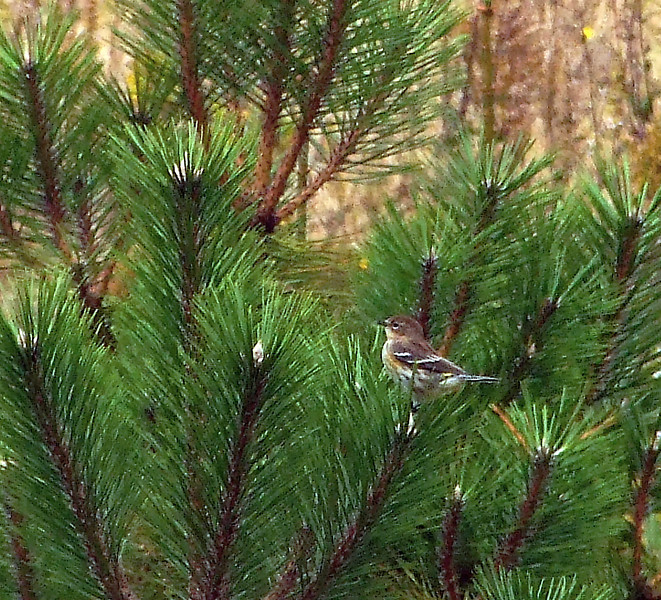 Yellow-rumped Warbler (Dendroica coronata)<br /> <br /> Halifax, N.S. (Prestwick Cl.) 10 October 2007