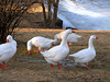 This gaggle (flock) of geese are very busy at sunrise preening, feeding and keeping a watchful eye on  the photographer.