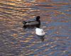 A male Mallard duck swims alongside a Pekin White duck.