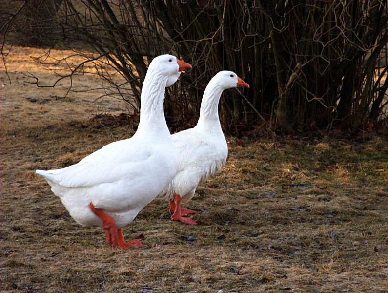 Embden Geese.  The goose and the gander.