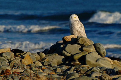Day 258 - Snowy Owl  I heard of some owls in the area, so I traveled to Hartlen Point this afternoon.  I was walking along the cobble beach checking out the coral and soft shell crabs stranded from low tide and watching the tide come in smashing huge waves on the shore of Devil's Island.    I was just about ready to head back when I noticed what looked like a new piece of driftwood on the beach.  Something out of place from the last time I was here a few months ago (I have a photographic memory that makes me notice this stuff).  I was about 1000 feet away, so I zoomed in the best I could, and then I saw it move, adjusting its wings.  My mouth dropped! :)  It took me a while to work my way through the bushes and briers to get within 50 feet.  The owl knew I was there and allowed me to continue observing for about a half hour.  He was really amazing to watch.  Then I heard some dogs barking in the background, off he went to some pine trees in the distance.  I spoke to a birder in the area and he said everyone is excited because there are going to be a lot of owls headed South this year.  It was a very successful breeding year and there are hundreds headed our way from the Arctic.    This owl is most likely a male, as it's been reported that most young males have already begun heading South. So we should start to see more in the upcoming weeks.  He said there are already two or three in the area now, with more expected soon.   Nov 27 2008