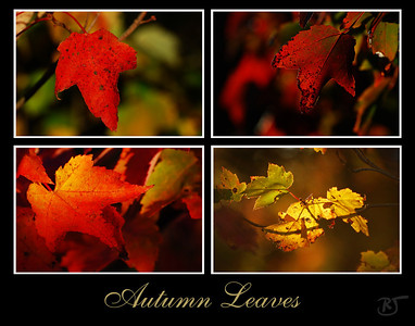 Day 232 - Autumn Leaves Collage  At lunch today, it was so nice out, I decided to take a walk on the trail (where the lady was walking her bike).  The sun helped me get some really nice foliage shots today.  Along with a few shots of a bee, red dragon fly, and a big green grasshopper. :) Usually they all flee when I walk the trail.   There were so many nice photos, Barb suggested doing a collage today.  I tried gathering some of the color backgrounds to give the feel of Autumn.  I really love the colors.  I think its the first Autumn that we had the chance to get out and really enjoy the foliage closeup.  Usually we just admired it's lovely colors from afar.   I added some more photos to the Fall gallery (here)  Oct 08 2008