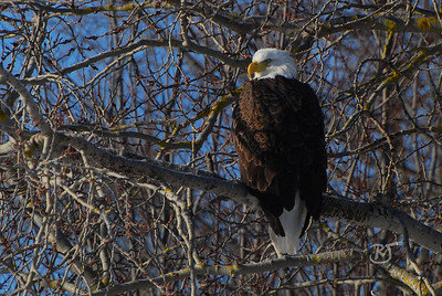 Day 314 (2/2) - Bald Eagle Perched     (Gallery of Bald Eagle Photos here )   Feb 07 2009