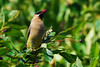 "Cedar Waxwing (Bombycilla cedrorum), <a href=""http://banjon.smugmug.com/Birding/Waxwings/Cedar-Waxwings/""> Gallery </a>   A member of the family Bombycillidae or waxwing family of passerine birds. It breeds in open wooded areas in North America, principally southern Canada and the northern United States.   These birds' most prominent feature is a small cluster of bright red feathers on the wings, a feature they share with the Bohemian Waxwing (but not the Japanese Waxwing). The tail is typically yellow or orange depending on diet. Birds that have fed on berries of introduced Eurasian honeysuckles (seen here) while growing tail feathers will have darker orange-tipped tail-feathers. Adults have a pale yellow belly. Immature birds are streaked on the throat and flanks, and often do not have the black mask of the adults. More information available at <a href=""http://en.wikipedia.org/wiki/Cedar_Waxwing""> Wikipedia.org </a>.    More information compliments of <a href=""http://pj-mcblake.smugmug.com""> P.J. Blake on Smugmug </a>. The red tips on the wing feathers are actually waxy deposits, not feathers themselves, hence the name ""waxwing.""  The waxy tips are thought to have some relevance to age, but in truth no one is entirely sure what the purpose is. There are only three species in the Bombycillidae family in the world, and North America has two of them.    Salt Marsh Trail, Halifax, Nova Scotia.  8 August 2009."
